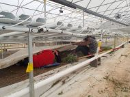 """""""No one ever worked THIS hard for us!"""" said Chico with Solutions Farms, in the 100 degree greenhouse, in reference to our ladies getting down and dirty. The weeds had to be removed from under the weed paper to prohibit pests and disease so they can maintain their Organic Certification"""